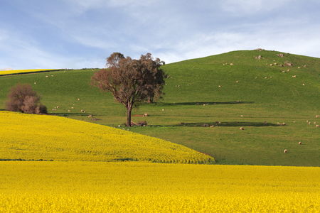 neighbouring: Sheep grazing on rolling green hills and golden canola flowering in neighbouring fields - a picturesque  rural landscape in country NSW Australia.