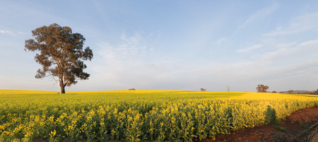 a crop: Rolling undulating hills planted out with golden canola, now flowering in full bloom in soft morning light.  Panorama.