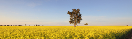 yellow flower tree: The landscape becomes a sea of bright yellow in spring when the canola crops burst into flower.  Morning light Canowindra