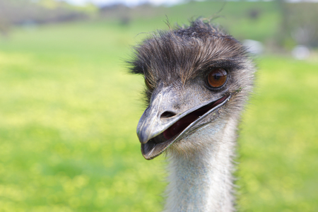 long neck: Happy emu.  Australian native flightless bird, with soft brown feathers and a long neck.  Although flightless, they can sprint up to 50km hour