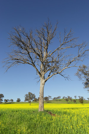 graze: A tree stands amonst flowering canola in the springtime and sheep graze on the fields and hills in the far distance. Stock Photo