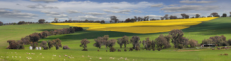 green flower: Sheep grazing on lush green pastures alongside fields of golden yellow crops of flowering canola.  Bumbaldry in rural Central West NSW