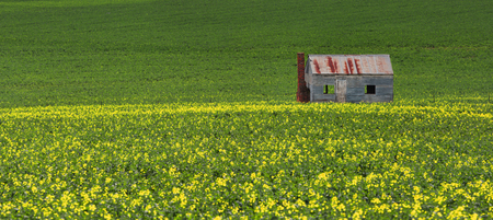 farm house: Rustic tin shack built of corrugated iron and brick chimney, sits in a farming fields of green and gold.  Panorama.
