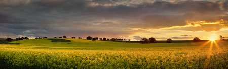 nsw: Canola farmlands  in rural Central West of NSW  at sunset, the last rays spread their warm light on the golden canols. Panorama