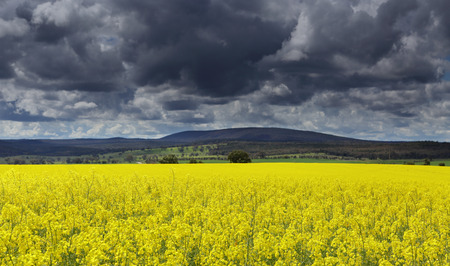 spectacular: Dark heavy clouds over canola fields signal rain on the way