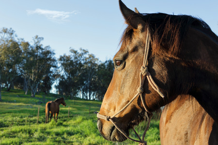watchful: A horses watchful eye on his buddy.  Early morning in ural NSW Stock Photo