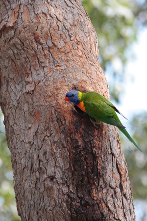 birdlife: The rainbow lorikeet (Trichoglossus moluccanus) is a species of parrot found  along the eastern  Australia.