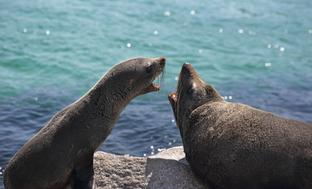 seal: Pup and adult Australian fur seal arguing fighting interaction