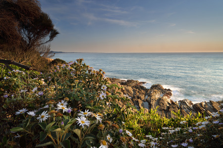 cliff face: Morning light onwildflowers growing around the cliff face at Bermagui