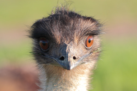 looking at viewer: The face of the cutest emu looking directly to camera viewer.