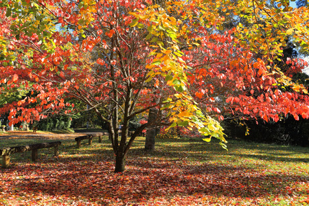 Beautiful sunlit autumn colours in the leaves of red orange, lime green and gold