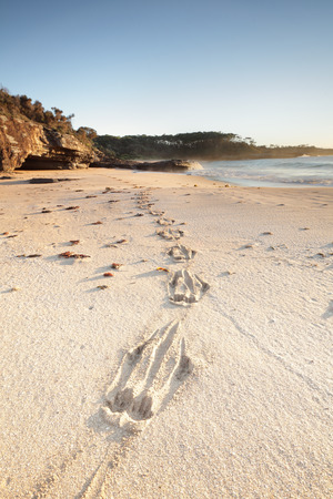 south coast: A fresh set of kangaroo tracks in the sand, leading around to a cave and rocks on the far south coast of NSW