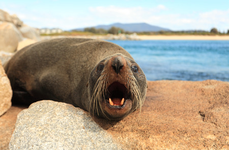 whiskers: Fur seals have large eyes, a pointed face with whiskers and sharp teeth. The Australian Fur Seal, Arctocephalus pusillus doriferus is the largest of all the fur seals.