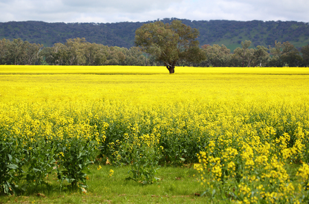 yellow flower tree: A lone tree stands in the midst of a canola field in full bloom in the spring in Australia