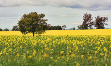 nsw: Grazing Canola alongside a field of Canola in Central West NSW