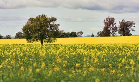flower fields: Grazing Canola alongside a field of Canola in Central West NSW