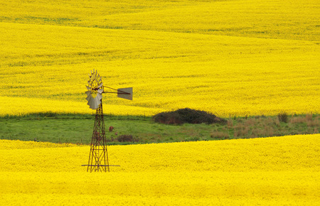 Windmill in a field of Canola, near Cowra early morning.  In the grassy patch are two kangaroos.
