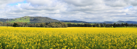 Beautiful views of Canola fields at Wattamondara.  Focus to foreground only Stock Photo
