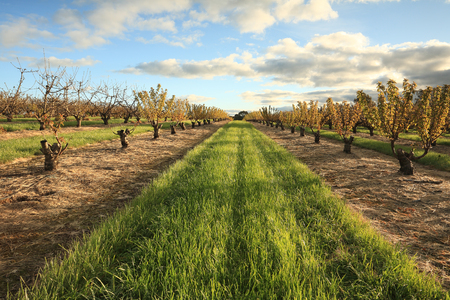nsw: Rows of cherry trees near Young, South West Slopes NSW, Australia