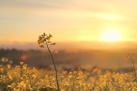 Raggi di sole dorati e campi d'oro. Canola dorato che fiorisce in primavera luce del mattino
