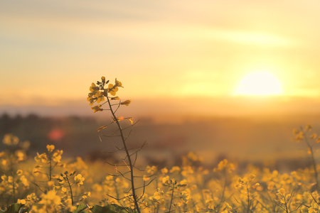 sol radiante: rayos de sol de oro y campos de oro. Golden canola que florece en la luz de la mañana de primavera