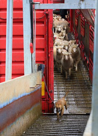 quite: Quite a messy job in the pouring rain, 4 rows high and 24 separate pens - around 700 sheep on a B-Double Livestock ttruck.  Sheep being offloaded and the working pup (in training) seems to want to be the leader of the pack :) Here he is running ahead of t Stock Photo