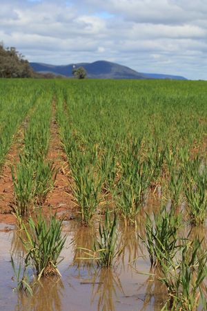 nsw: Waterlogged wheat crops after partial flooding in Central West NSW.  Focus to foreground only