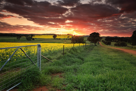 nsw: Sunrise on the farm in country NSW  Red skies, yellow canola and lush green dew covered grass. The landscape is alive with vivid colours during spring in the Central West NSW Australia