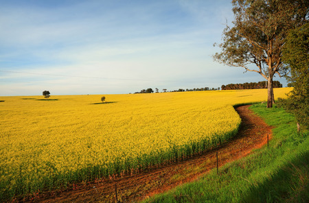 Hectares of agricultural canola plants flowering in the spring time.  Central West NSW
