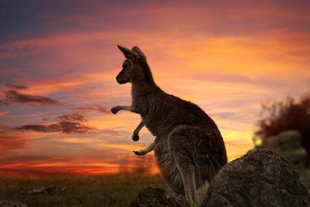 Moeder kangoeroe met joey in zak, benen die uitstaan op een vurige zonsondergang avond in buitenland NSW Stockfoto