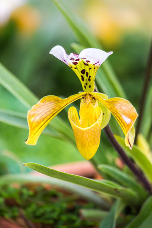 lady's slipper: Flowers of Paphiopedilum orchid from Chiang Mai Thailand, Ladys slipper flower