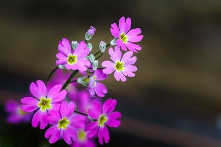 florescence: Small purple flowers on dark background.