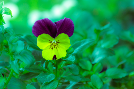 violas: Violas or Pansies Closeup in a Garden Stock Photo