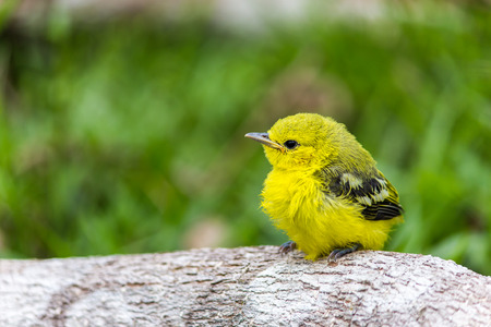 oriole: Black-naped Oriole, beautiful bright yellow bird Oriolus chinensis isolated on white background