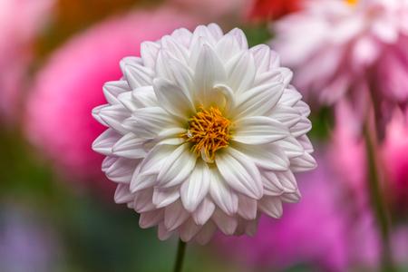 Flowers dahlia Stock Photo