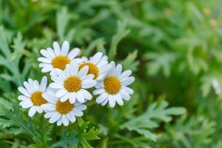 margarite: beautiful white daisies flowers