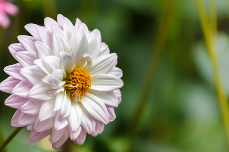 flori culture: Flowers dahlia Stock Photo