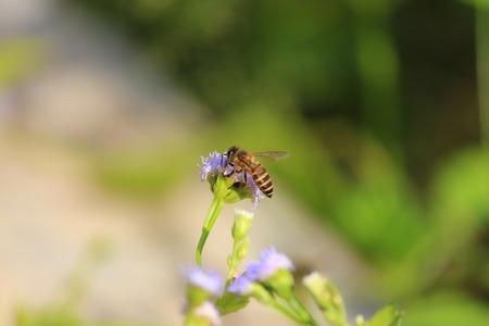 industrious: Honey Bee on a rape flower