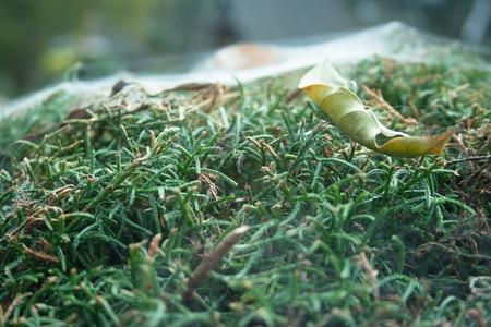 aracnidos: Una hoja seca se pliega juntos y pegado sobre las hojas verdes por telas de ara�a.