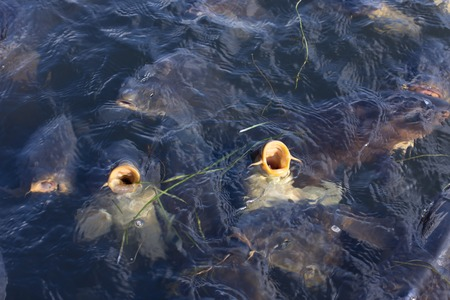 familiar: Fishes are in a lake naturally but familiar with people. They rise the surface and request for food. Stock Photo
