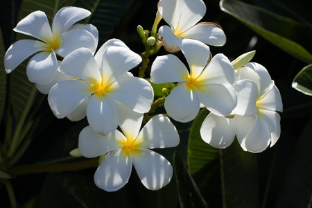 plumerias: A bunch of white Plumerias are in full bloom in the morning sun.