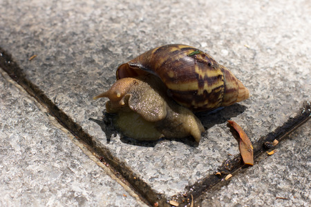 mollusca: A brown snail is crawling across graniteslab walkway to the opposite side.