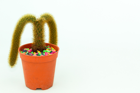 diffuse: The miniature cactus in the brown pot, is diffused into two branches. This cactus is catagorized as the diffuse form. Stock Photo