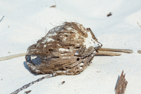 A dry coconut fell off its origin nearby. The coconut is decomposing on the beach, which consists of fine white sand.