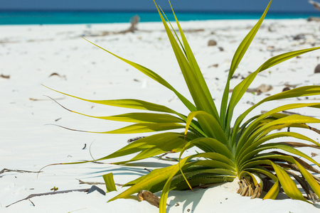 fine tip: Seashore screw pines, grow on beaches but now rare to find. Natural growth of this plant, represents fresh habitat. The fruits look alike pineapples, are green when young and turn to orange when ripe. Stock Photo