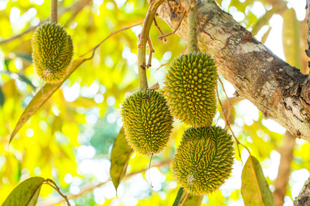 Durians are a kind of fruit that planted in South East Asia. The shell of this fruit is covered throughout with thorns. Durians smell singularly, are rich of fat and sugar. The fruits grow out the trunk, and hang until rot.