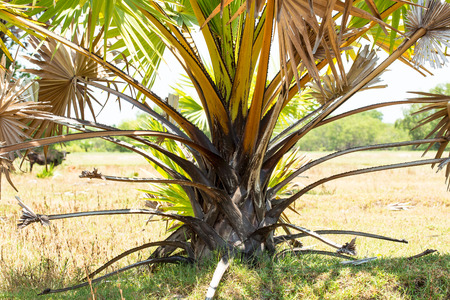 Sugar Palm, is a plant that originated from Africa. The palm grows from a seed, is usually at its originally rooted. Farmers sometimes plant the palm on a ridge, to mark their field's boundary. Green leaves are for basketry, while the dry ones are for roo