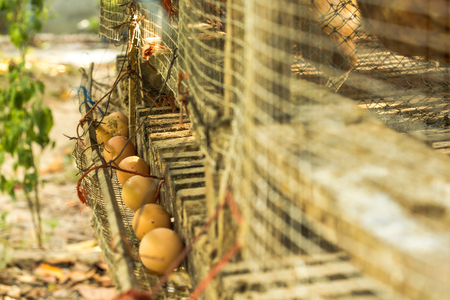 outworn: Villagers in the countryside of Thailand, breed chickens in a simply-made coop to collect eggs. Once the eggs are laid, they roll over to a gathering channel. Collecting the eggs is a daily job. Stock Photo