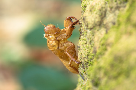cigarra: Cigarra es un insecto que vive bajo tierra, y consume la savia de las raíces de los árboles. Una vez adulto, se excava la tierra a la superficie. Las mudas cigarra y deja los restos de encontrar una pareja para reproducirse.