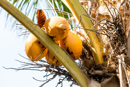 Fire coconut, Cocos Nucifera is a breed that originated from Sri Lanka. Its shell, is orange to yellowish gold in color. The fire coconut is rather oval shaped, but tasted same to others. Standard-Bild